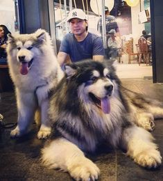 There's nothing like a big floof to improve our moods. Tons of pictures of funny and adorable Alaskan Malamutes to charge you up with enough positive energy for the entire week! Giant Alaskan Malamute, Alaskan Malamute Puppies, Malamute Dog, Big Dogs, Cute Dogs, Dogs And Puppies, Corgi Puppies, Doggies, Animal Memes Clean