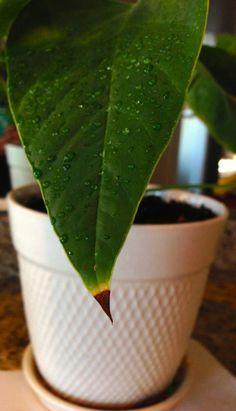 Почему сохнут кончики листьев у комнатных растений? Попробуем разобраться, почему высыхают кончики листьев и как не дать маленькой проблеме превратиться в большие хлопоты.