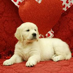 100% White Golden Retriever Puppies from White Oak Golden Retrievers