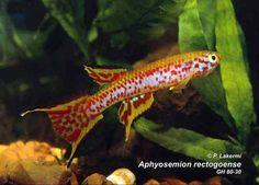 Aphyosemion rectogoense PEG 95-16