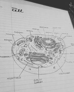Animal Cell Sketch Pencil Sketch Animal Cell Pencil Sketch ...