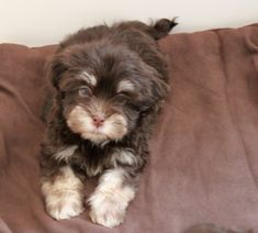 All the things we respect about the Intelligent Havanese Pup Havanese Puppies, Baby Puppies, Dogs And Puppies, Funny Dogs, Cute Dogs, Dog Facts, Aggressive Dog, Dog Paintings, New Puppy