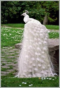 White peacock. The female is called a 'peahen' and is not nearly as pretty.