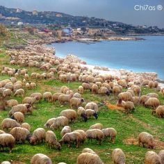 LEBANON, SHEEP HAVE THE RIGHT TO REST AND SWIM IN THE BEAUTIFUL SEA