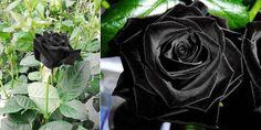 Vemale.com - Mawar hitam bukan bunga yang ada dalam dongeng semata. Di Turki, Anda bisa menemukan bunga mawar hitam yang hanya mekar dua kali setahun.