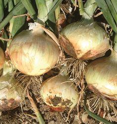 Zoey Organic – West Coast Seeds