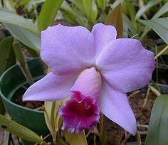 Laelia praestans Orchid Show, Orchid Flowers, Orchids, Garden Of Eden, Lush Garden, Flower Pictures, Gardens, Shades, Smile