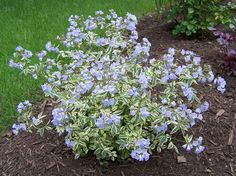 """""""variegated"""" Jacob's Ladder (native): needs wet or constantly moist soil."""