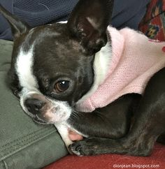 "Boston terrier says: ""Yes, I am comfortable, thanks for asking."""