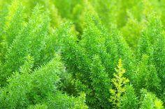 Unelma (Asparagus plumosus) - Huiskula