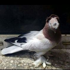 #Taklacı  #Güvercin  #Taklacı Güvercin  #Turki #голуби #Гълъби #Tauben #کبوتر #حمام_تركي #طيور_الحمام #المربي_عبدالله_الصاعدي Tumbler Pigeons, Pigeon Breeds, Bald Eagle, Pakistan, Birds, Top, Animals, Lakes, Farm Animals