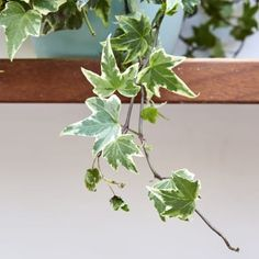 Variegated English Ivy — Plants Plants for Indoor and Outdoor Delivered in London Ivy Plants, Indoor Plants, English Ivy Plant, Best Office Plants, Trees To Plant, Plant Leaves, Hedera Helix, Golden Pothos, Cheese Plant