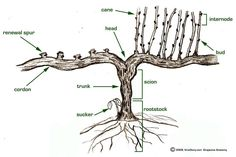 Know your #Wine... Know your Grapevine Anatomy... via @jordanwinery http://blog.jordanwinery.com/2013/01/winter-in-the-vineyards-what-happens-while-the-vines-sleep/… … …  RT @JMiquelWine