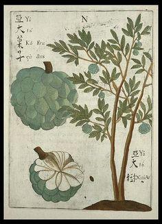 Atis (Sugar Apple)