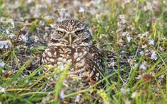 A burrowing owl has a color pattern that can blend in with all sorts of environments.