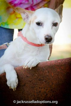 Sparky, Adoptable Jack Russell | Georgia Jack Russell Rescue, Adoption