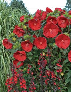 Spice up your landscape with this amazing perennial--Cranberry Crush Hibiscus is a later summer stunner, with blooms the size of dinner plates!