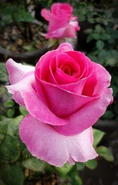 Lavender Roses, Tea Roses, Pink Roses, Pink Flowers, Pretty Roses, Beautiful Roses, Beautiful Gardens, Rosa Rose, Rose Wallpaper