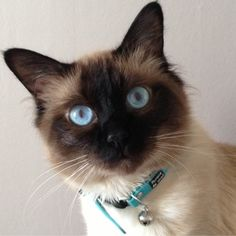 Cat - Birman - Helouan  on www.yummypets.com