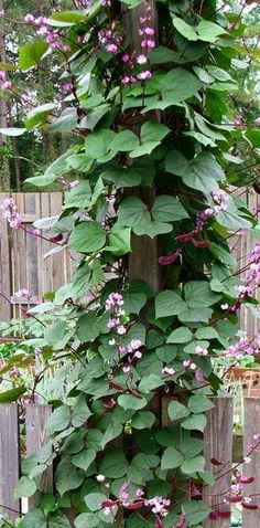 Hyacinth Bean Vine... Grows fast and is so showy and fragrant., attracts Butterflies and Hummingbirds to your habitat. Plant with Moonflower Vine which is also fragrant. May grow up to 20 Ft. high. Perfect planted by a birdbath on a trellis.