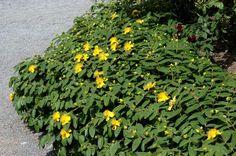Hypericum calycinum - Gavallérkert faiskola - dísznövények, cserjék és örökzöldek a kertben.