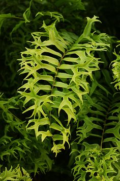 Nephrolepis falcata f. furcans | Flickr - Photo Sharing!