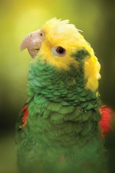 Amazon Yellow Head Parrot Food It Eats