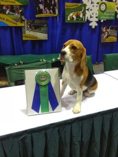 Life With Beagle: AKC: Beagles are fourth most popular dog breed