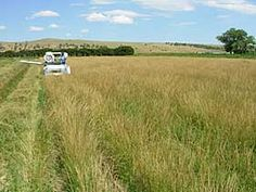 Harvesting seed of Pryor slender wheatgrass.