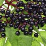 How to grow Elderberry Bushes