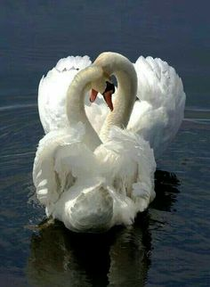 Swans..so beautiful