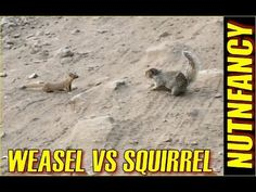 Weasel vs Ground Squirrel: Nature's Combat - YouTube