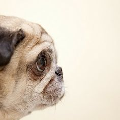 Little grey pug - in the old age, they acquire a kind of grace and are still loyal and love-able. I love senior pugs! Cute Pugs, Cute Puppies, Funny Pugs, Adorable Dogs, Amor Pug, Old Pug, Photo Animaliere, Pugs And Kisses, Pug Pictures