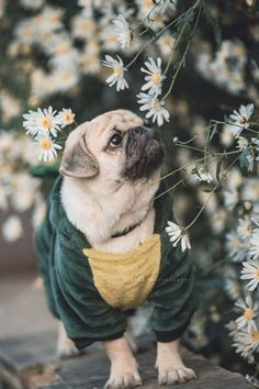 """Awesome """"black pug puppies"""" detail is available on our web pages. Cute Pug Puppies, Black Pug Puppies, Cute Pugs, Dogs And Puppies, Cute Baby Animals, Animals And Pets, Pug Wallpaper, Pugs And Kisses, Baby Pugs"""
