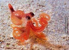Süßer Oktopus