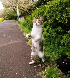 Haha I love standing cats but this is awesome...Walking Cat!!