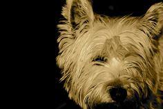 carin terrier <3
