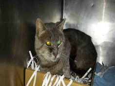 VELCRO - A1042244 - - Brooklyn   *** TO BE DESTROYED 07/06/15 *** VELCRO IS A MATURE GENT WITH A TOUGH HISTORY ON THE STREET……He has some battle wounds that are healing but even though he is off the street he is still wary and frightened…..It looks to be that VELCRO might have a one time been someone's house cat but was abandoned or lost…..PLEASE GIVE VELCRO A CHANCE AT A SUNNY WINDOW IN THE SUMMER AND A WARM HOUSE IN THE WINTER….OFFER TO