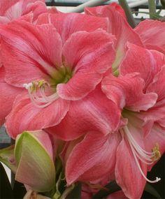 Amaryllis Summertime - Royal Dutch Single Amaryllis - Amaryllis - Flower Bulb Index