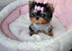 Yes, I'm a princess Found at:http://bit.ly/2giBYOa   Found at: https://itsayorkielife.com/yes-im-a-princess/  #Yorkies,#YorkshireTerriers,#Yorkielove,#ItsaYorkieLife