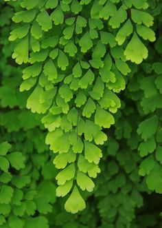 Maidenhair my favorite fern❤ Native to South Carolina. Shade