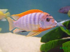 labidochromis hongi red top - Hledat Googlem