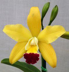 Inter-Generic Orchid-Hybrid: Rhyncattleanthe Paradise Beauty 'Golden Angel' (Rhyncholaeliocattleya Haw Yuan Beauty x Rhyncattleanthe Haw Yuan Glory) - Flickr - Photo Sharing!