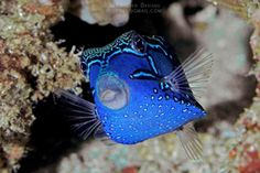 Blue Boxfish (male). Very handsome little guy!