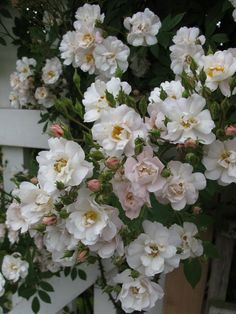 'The Garland' white rambling rose on a white fence.  Red would do nicely as well.