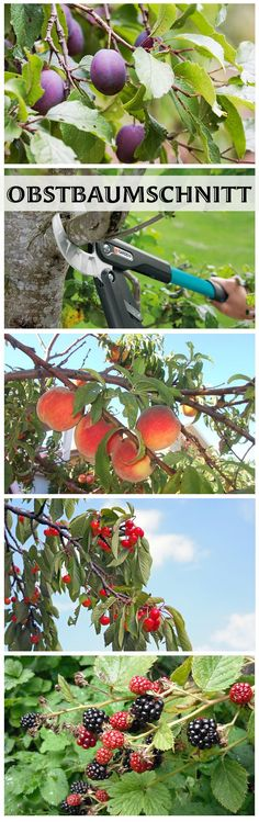 Ob Apfelbaum, Kirschbaum oder Himbeerstrauch: Den Obstbaumschnitt kannst du selb… Whether apple tree, cherry tree or raspberry bush: You can make the fruit tree cut yourself. We'll show you how to cut back the different types of fruit! Fruit Tree Garden, Pruning Fruit Trees, Tree Pruning, Garden Types, Herb Garden, Garden Plants, Culture D'herbes, Raspberry Bush, Raspberry Tree