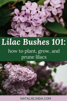 How To Grow A Lilac Bush For Beautiful Blooms In The Spring Natalie Linda Gardening For Beginners Plants Lilac Bushes