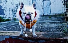 Funny Bulldog Wallpaper and You Can Make Your Dog More Amazing - http://www.catdogfoto.com/funny-bulldog-wallpaper-and-you-can-make-your-dog-more-amazing/