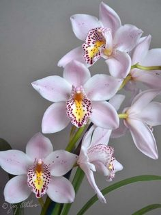 Orchid Cymbidium Radiant Beam - for cocktail hour