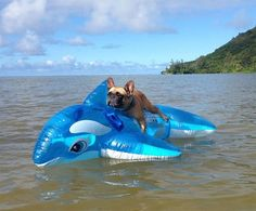 French Bulldog on a Whale Floaty ❤